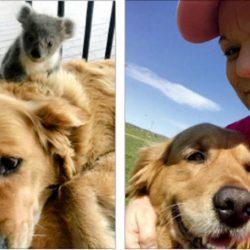 الكلبة آشا تنقذ صغير كوالا في أستراليا