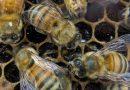 العلماء يفكّون شيفرة رقصة النحل و«ساينس ديلي»«حبر حيوي» لدعامات الأنسجة البشرية المصابة