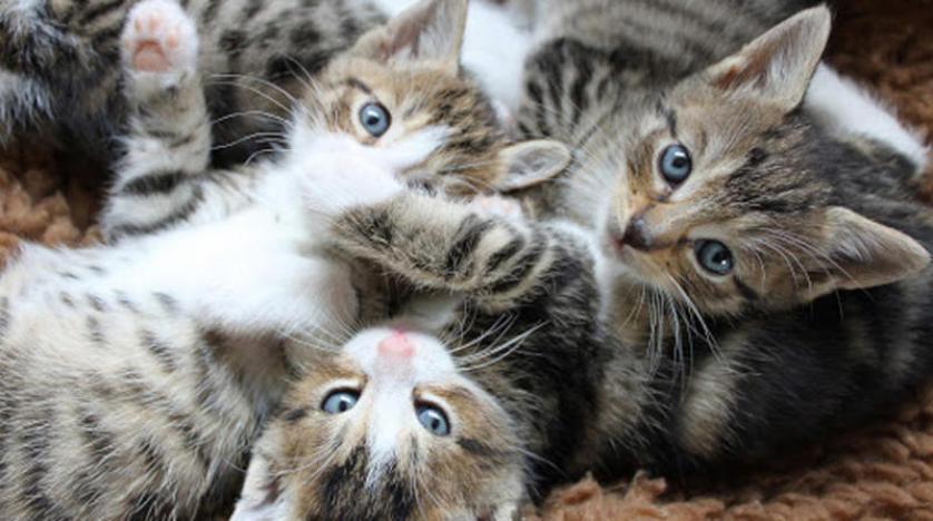 القطط تعدي بعضها بعضاً بـ«كورونا» ولا تنقله إلى البشر وعلماء أستراليون يطورون مرجاناً «مقاوماً للحرارة»