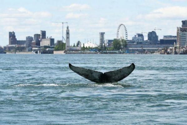 رصد حوت أحدب تائهاً في مياه مونتريال العذبه ومحاولة اعادته إلى عائلته