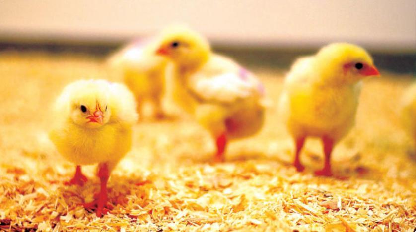 الدجاج الوحشي يغزو قرية نيوزيلندية وعلماء يكتشفون«الاستماع» إلى الدجاج فماذا عن اصوات البشر؟؟