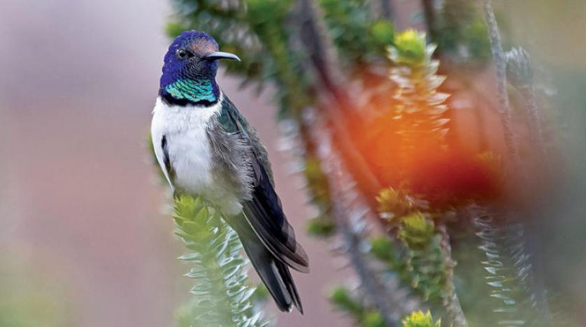 غناء طائر الطنان الإكوادوري والاستماع بعضها لبعض لفصيلته فقط