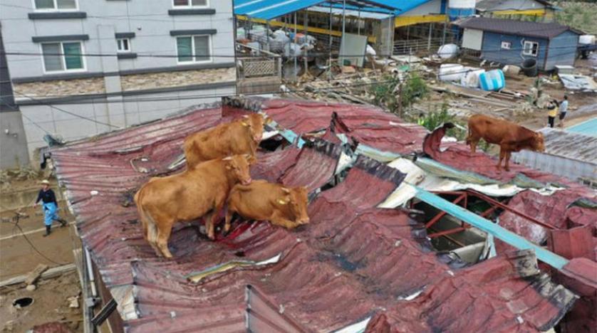 """""""بقرة ولو طارت """"على أسطح المنازل في كوريا الجنوبية"""