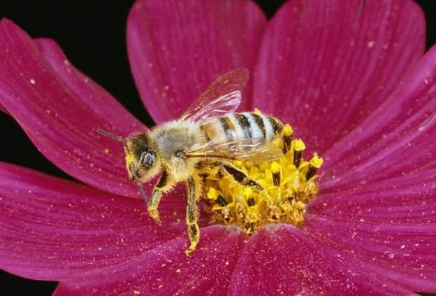 علماء أستراليون: سم النحل يقتل خلايا سرطان الثدي
