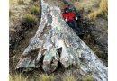 شجرة عمرها 10 ملايين سنة تكشف معدلات رطوبة قياسية
