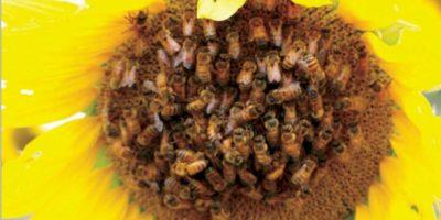 توظيف حاسة الشم في النحل لرفع إنتاجية المحاصيل الزراعية ودراسة «الحاجب النرجسي» تفوز بجائزة نوبل للحماقة