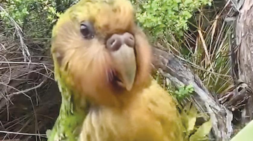 «كاكابو» يفوز بـ{طائر العام» في نيوزيلندا