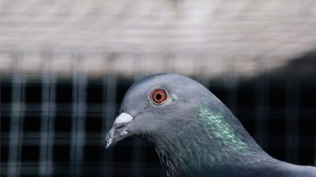 بطاقة تعريفية مزيفة كادت تودي بحياة الطائر «جو»فلماذا ستقتل أستراليا الحمامة الأمريكية التي ضلت الطريق لمدة شهرين؟