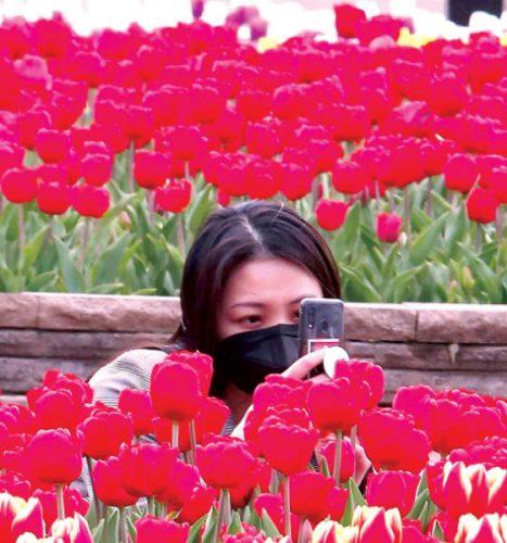 كمامة بين أزهار التوليب