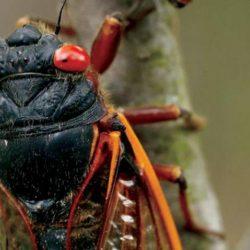 حشرات «السيكادا» حمراء العيون تظهر بعد غياب 17 عاماً... لتتكاثر وتموت