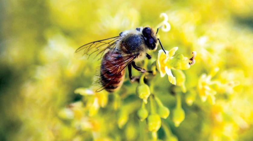 النحل يؤدي رقصات تعبيرية لاجتذاب المستعمرة إلى مناطق الطعام