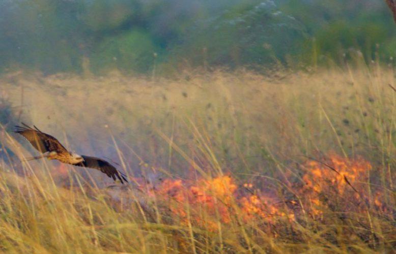 طيور النار التي تسهم في تدهور الحرائق بأستراليا؟تحمل الفروع المشتعلة وتتعمد إضرام النيران..