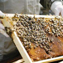 غياب السكر عن «غذاء النحل» يهدد تكاثره في الدول ذات الطقس البارد