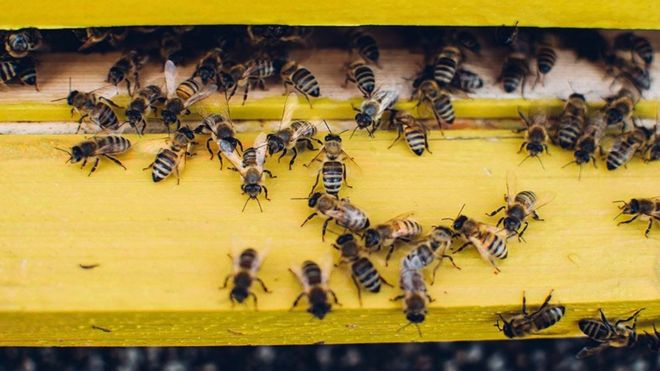 استمرار تناقص النحل يهدد إمدادات الغذاء العالمية