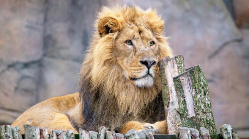 كورونا: يطارد كائنات أشهر حديقة حيوانات في لندن