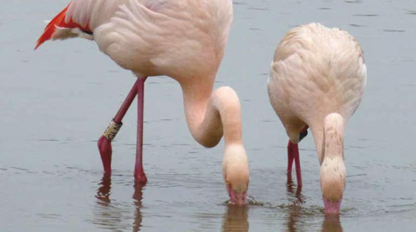 طيور الفلامينغو تبني صداقات وتتزوج... و«تتسكع»