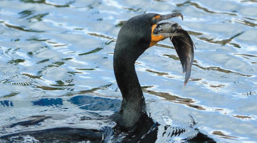 الطيور مسؤولة عن هجرة الأسماك إلى البحيرات المغلقة وعلماء يؤكدون: الطيور تتحدث بلهجات مختلفة
