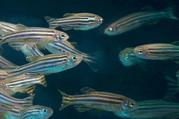 أسماك الزرد تؤكد «أمان» شبكات «الجيل الخامس»وخبراء الأرصاد يرجّحون ارتفاع حرارة العالم 1.5 درجة مئوية وتجربة صادمة تكشف تداعيات العمل في المنزل