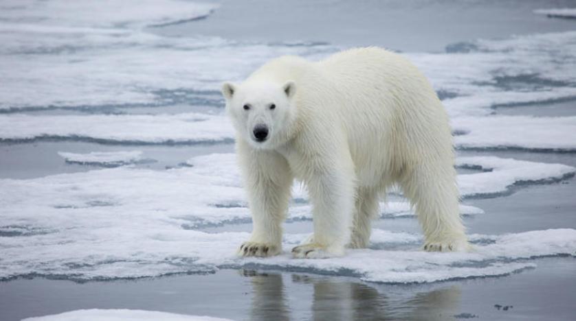 الدببة القطبية تخسر موطنها مع احترار المناخ في العالم وتواجه {الانقراض الحتمي}
