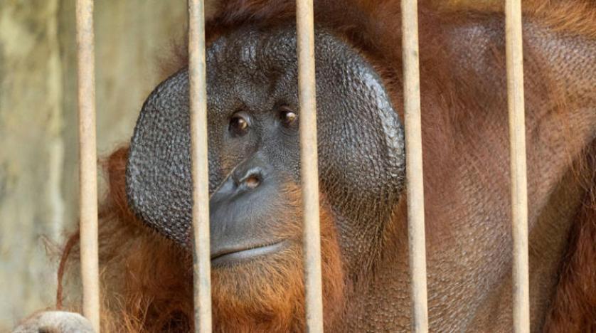 جماعة بيئية في إندونيسيا {تحرر} حيوانين من إنسان الغاب و الطيور والزواحف تبكي دموعاً مماثلة لتلك التي يذرفها البشر