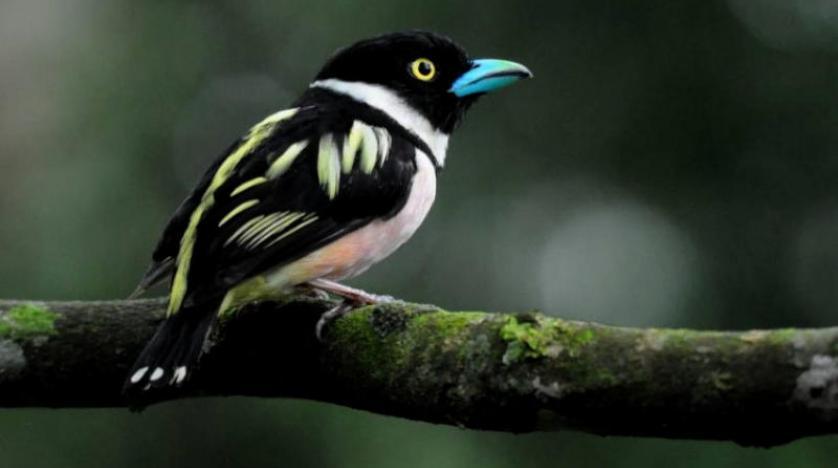 طيور الغابات المدارية تقهر الجفاف بالحد من التكاثر وزاحف من عصر الديناصورات التهم مخلوقاً يقارب حجمه