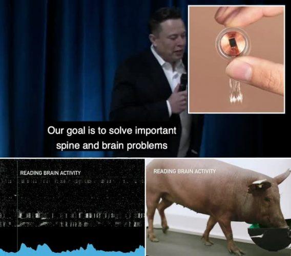 زرع شريحة كمبيوتر بدماغ خنزير وشرَح انعكاسها على الإنسان (فيديو)