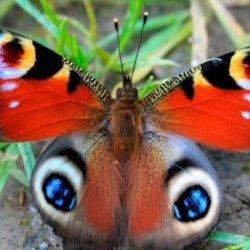 تراجع أعداد الفراشات وصمودها مرتبط بحجم أجنحتها وألوانها والباهته هي الاقوى والملونة :الاضعف