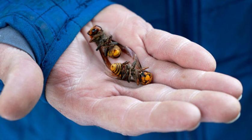 نحل العسل يستخدم فضلات الحيوان للحماية من الدبابير القاتلة ونحل أزرق وليس له ملكة...