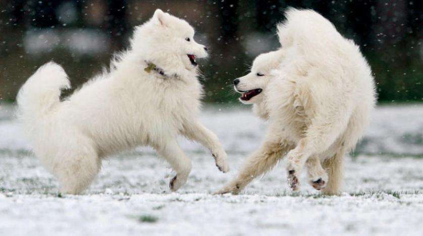 الكلاب تلعب مع أقرانها لإسعاد أصحابها