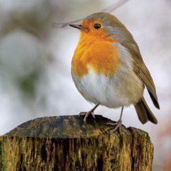 الطيور المغردة تطور ريشها للتكيف مع البرد القارس