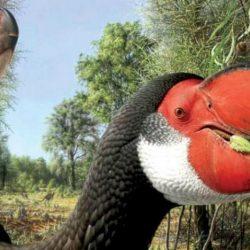 أكبر طائر لا يطير بوزن 10 رجال عاش قبل 50 ألف عام في أستراليا
