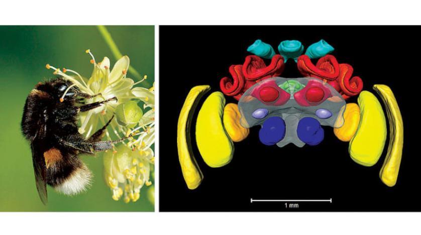 أول أطلس لدماغ النحل الطنان وبسبب احتكاكها بالبشر... سلاحف طوّرت مقاومة للمضادات الحيوية