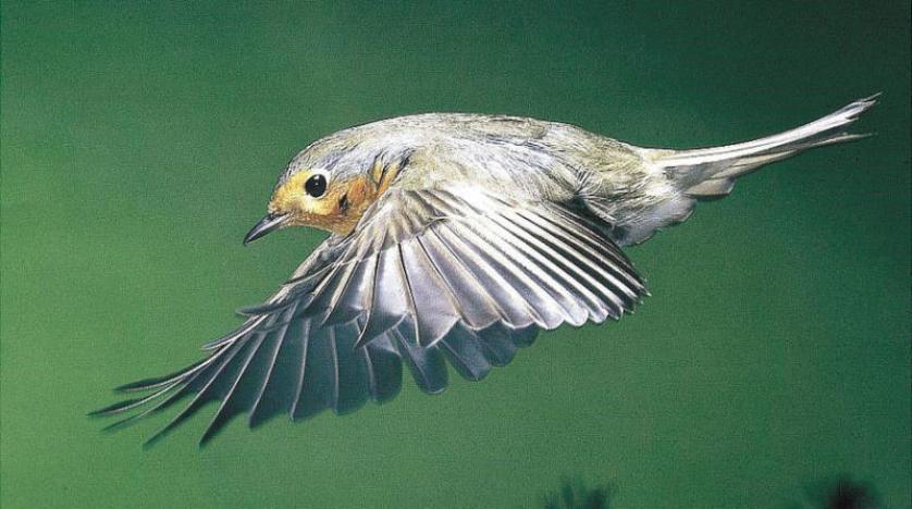 «بوصلة حية» مغناطيسية ترشد الطيور خلال هجرتها
