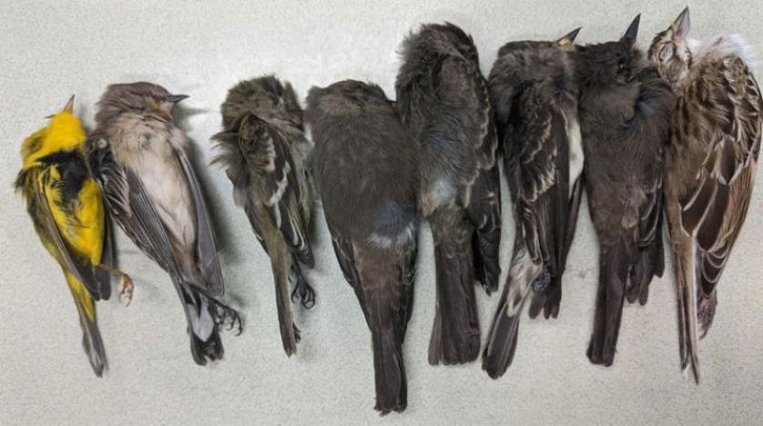 نفوق جماعي للطيور في أميركا يُحيّر العلماء
