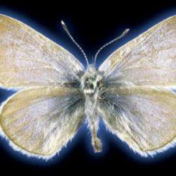 الحمض النووي يحسم جدلاً قديماً حول نوع فراشة منقرضة