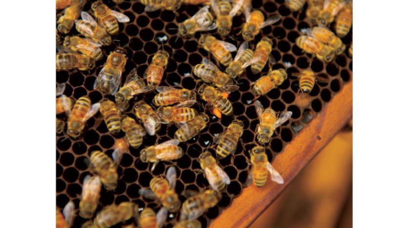 النحل الغاضب ينتج سمّاً يعالج «باركنسون» والتهاب المفاصل