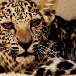ولادة أنثى من «النمر العربي» في السعودية